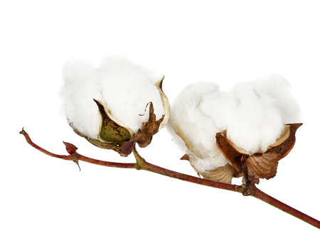 two cotton bolls on twig isolated