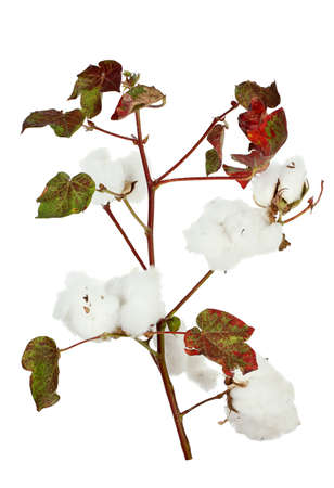 cotton crop: cotton plant isolated on white