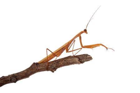 praying mantis on twig isolated on white