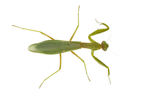 species of creeper: top view of green praying mantis isolated