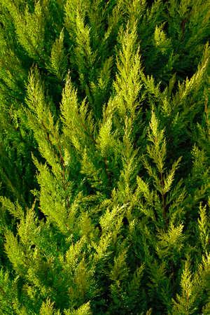 cypress tree: closeup of cypress tree