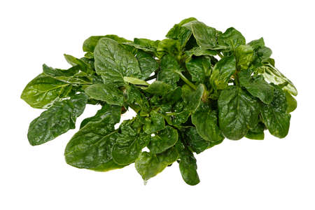 salad greens: fresh spinach isolated on white