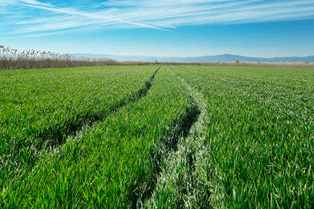 green wheat field with blue sky photo