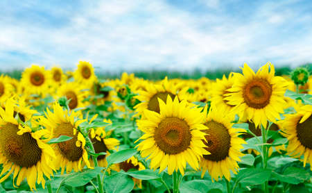 field of sunflowers with blue sky closeup photo