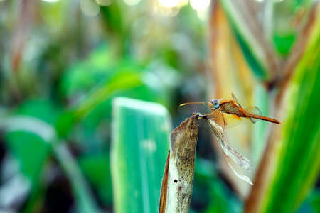 closeup of dragonfly resting on dry corn leaf photo