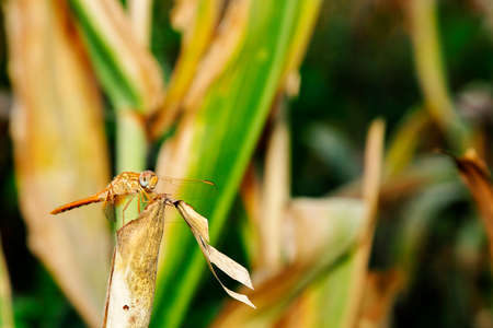 anisoptera: closeup of dragonfly resting on dry corn leaf