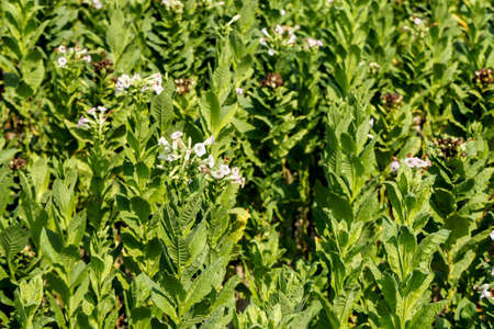 tobacco plants: tobacco plants with flowers in tobacco field closeup Stock Photo
