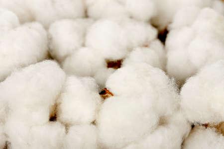 cotton crop: macro of cotton balls