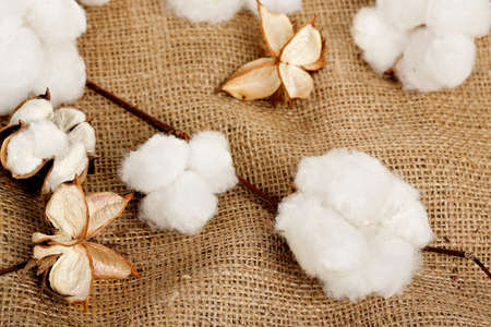 bolls: cotton balls on burlap sack Stock Photo