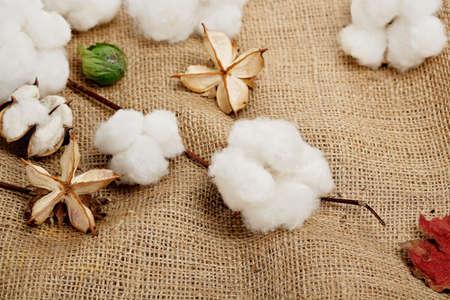 cotton crop: cotton balls on burlap texture