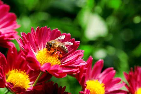 macro of bee on flower photo