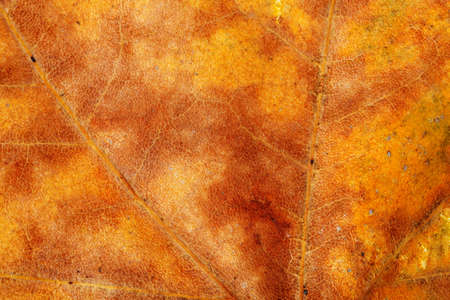 sycamore leaf: macro of dry sycamore leaf in autumn