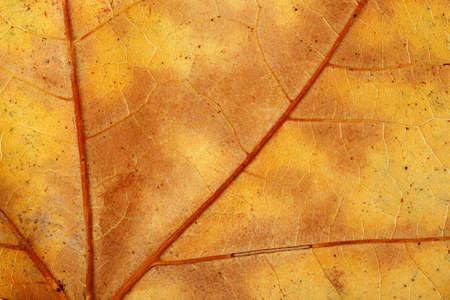 プラタナス: 秋の乾燥プラタナス リーフのマクロ