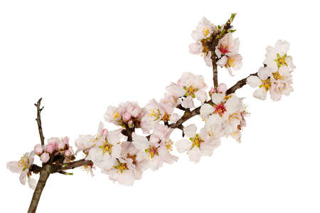 almond tree twig isolated on white Stock Photo