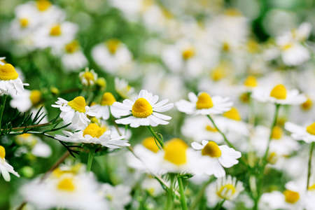 chamomile flowers with shallow depth of field, full frame photo