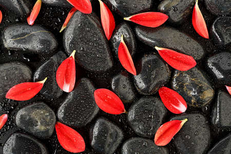 red stone: dahlia flower petals on black stones with waterdrops
