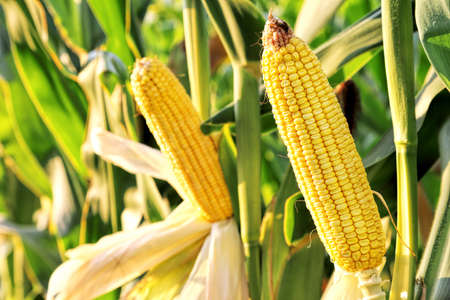 harvest field: ear of corn in the field on a sunny day