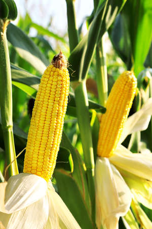 august: ear of corn in the field on a sunny day