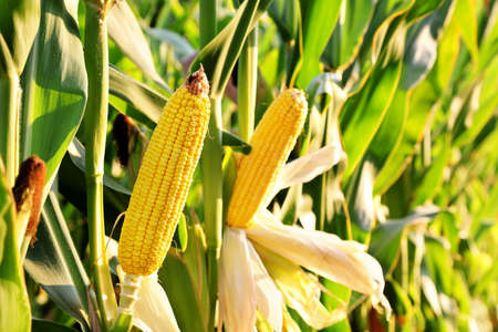 planta de maiz: espiga de trigo en el campo en un día soleado Foto de archivo