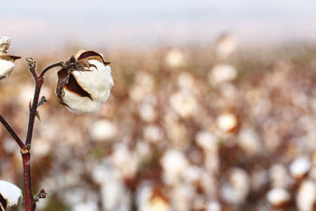cotton crop: closeup of cotton plant in the field