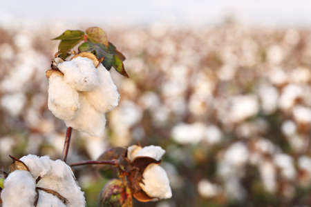 bolls: closeup of cotton plant in the field