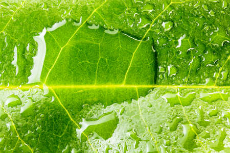 leaf water: macro of water drops on green leaf
