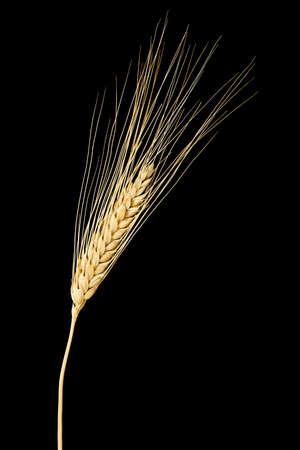 macro of single wheat ear isolated on black