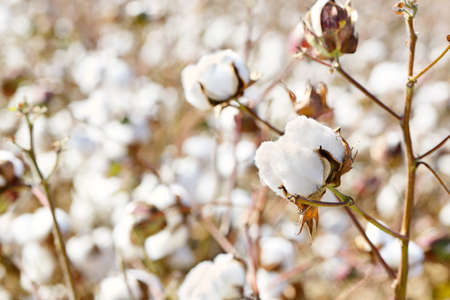 cotton plants in the field on a sunny day Stock Photo