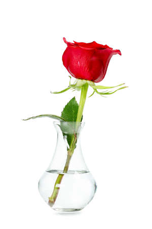 single rose in small vase isolated on white