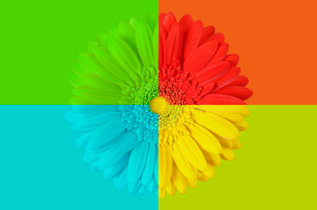 multi colored gerbera flower on colorful background