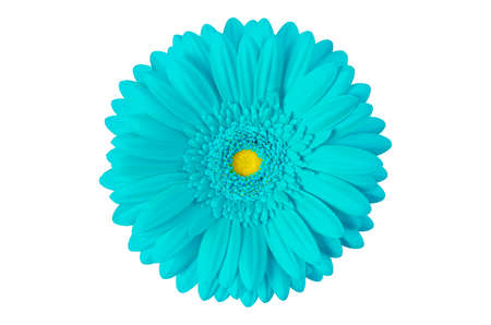 cyan gerbera flower isolated on white