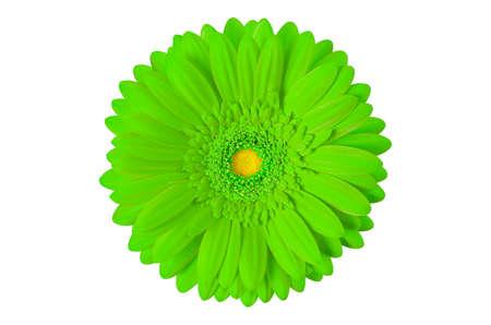 green gerbera flower isolated on white