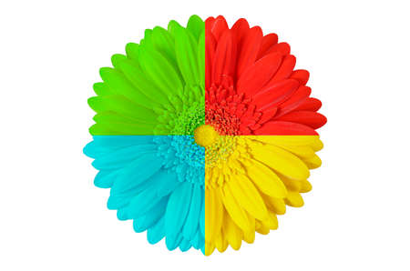 multi colored gerbera flower isolated on white