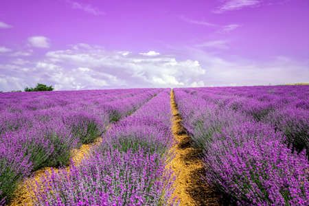 cultivation of lavender on uphill field, sky in the horizon Stockfoto