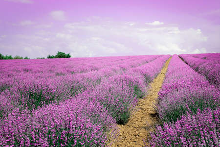 cultivation of lavender on uphill field, sky in the horizon Imagens