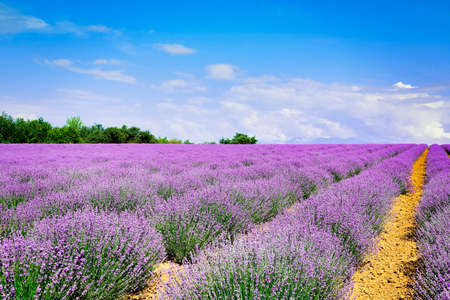 cultivation of lavender on uphill field, blue sky in the horizon
