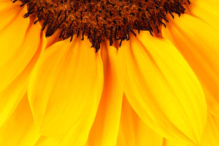 macro of beautiful sunflower, great detail and color