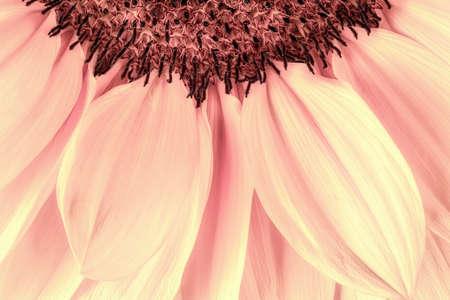 pink version of sunflower, creativity and romance