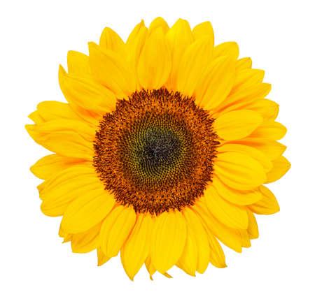głowa słonecznika na białym tle