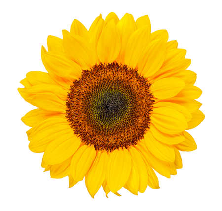 sunflower head isolated on white Imagens