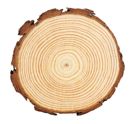 sezione trasversale del ramo di un albero con anelli evidenti isolati su bianco Archivio Fotografico