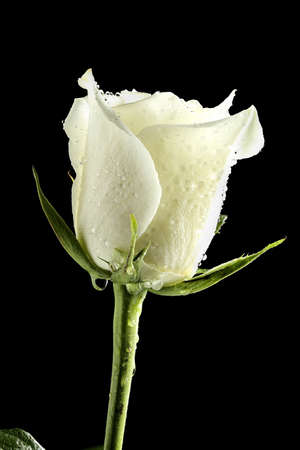 macro of white rose with water drops isolated on black Archivio Fotografico