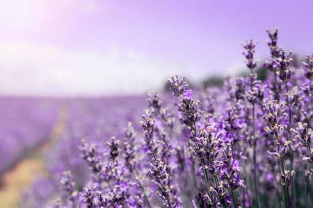 close up of  lavender flowers in the field,  purple sky Foto de archivo - 149417692