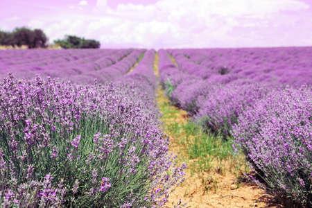 lavender flowers in the field Foto de archivo - 149417561