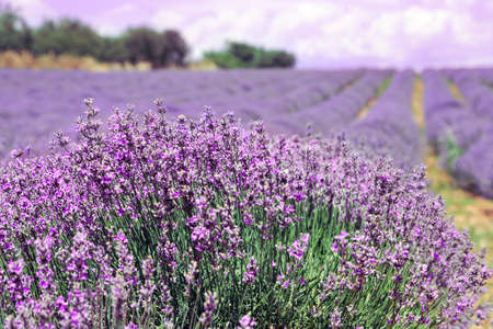 close up of  lavender flowers in the field Foto de archivo - 149417764