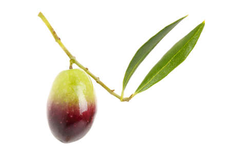close up of single olive on twig with leaves, isolated on white