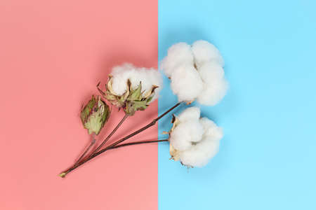flat lay image of cotton plant on pink and blue background Zdjęcie Seryjne