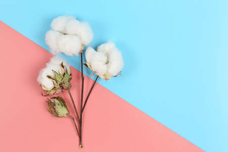 cotton balls on pink and blue surface with copy space Zdjęcie Seryjne