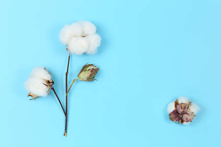 flat lay image of cotton plant on blue background