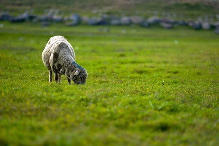 Sheep Stock Photo - 14268622